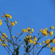 イペーの花咲く