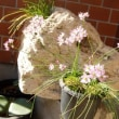 山ニラの花