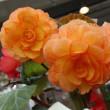 薔薇のようなベゴニア