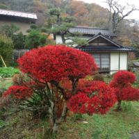 チョウジャボクの紅葉