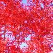 我が家の紅葉 今が盛り