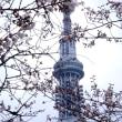 2018年3月20日の隅田川の桜