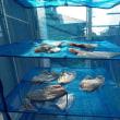 周防大島の鯛・青物釣り(2018/7/15)