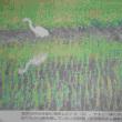菖蒲類と天然記念鳥の朱鷺