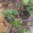 白馬八方尾根の花 9月1日 19  クロマメノキ ヒロハヘビノボラズ の実