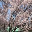 桜が全然散りません。今年はピンクがとっても綺麗🌸