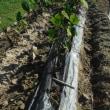 サトイモ掘り