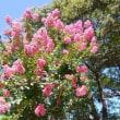 徳島中央公園の百日紅