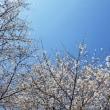 桜、桜 満開!