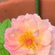 小さいバラの花