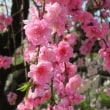 2018年広島市桜満開
