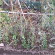 《家庭菜園》キヌサヤ、グリーンピース、スナップエンドウ【越冬準備】(18/12/08)