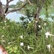 私の散歩学(29) 平荘湖の白いユリ