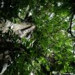 石垣島の巨樹・巨木巡り 2日目の3