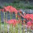 A.103.鹿沼市(粟野と粕尾)の彼岸花を訪ねて、