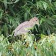 翼に星 ゴイサギ幼鳥