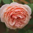 ☆きょうの庭バラ 10/14 よく咲くランキングみたい