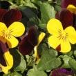 乳草の花とビオラ