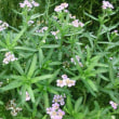 ノコギリソウの花は