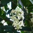 季節の花「クラリンソウ」