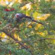 イチイの実を食うヒヨドリ