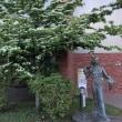 """函館市中央図書館前に咲く""""ヤマボウシ""""..."""
