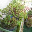 やまぽんの盆栽。(松の植木)