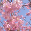 河津桜は満開ですが雨になるみたいですね。