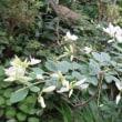 白萩 開花