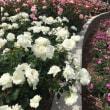 今日の薔薇3
