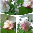 今日も雨が降っています・・・酔芙蓉が綺麗に開花しません。