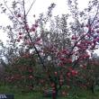 リンゴ狩りツアー