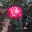 これから駅南口広場はバラが見頃に!
