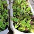 ベランダ菜園~ベビーレタス