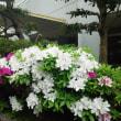 ツツジの花が咲き始めました。