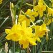 春がいっせいにやってきました・・・糸水仙の花・・・です