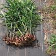 ほうれん草と小松菜の種まき