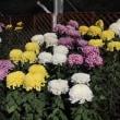 【京都府立植物園】第52回菊花展開催のお知らせ(2018年10月20日~11月15日)