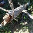 松の木を伐採したら爆弾が