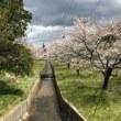 どもども桜が満開、いや散り始め