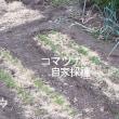 秋冬野菜の播種・発芽・定植 <我が家の菜園132>