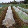 午前中は収穫、午後はエンドウ豆と空豆播種(byモリ)