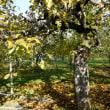 リンゴの伐木20181130