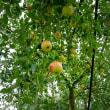 2018 たわわに実る赤いリンゴの香りに包まれて 《佐賀市三瀬村》