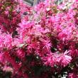 「おはようの花」 ベニバナトキワマンサク(紅花常盤満作) 3月