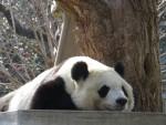 王子動物園のパンダは・・・。