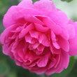 庭のお花達 トラディスカンチア他