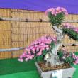 武生菊人形祭り
