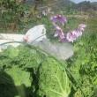 皇帝ダリア咲く ミニ白菜の上で
