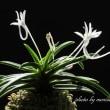 過去開花の富貴蘭「轡虫」の花